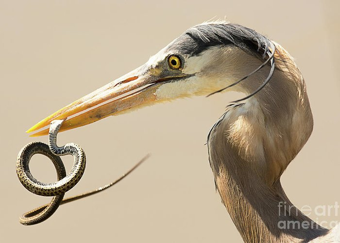 Bird Greeting Card featuring the photograph Great Blue Heron with Snake by Dennis Hammer