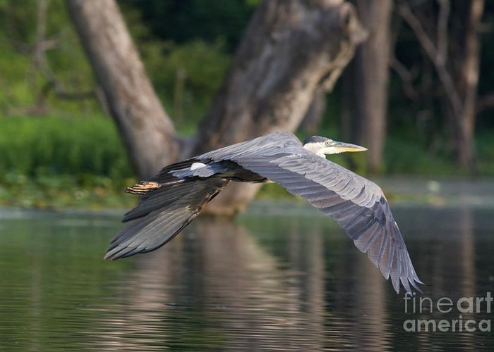 Great Blue Heron Greeting Card featuring the photograph Great Blue In Flight by John Franke