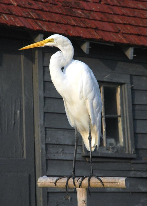 Great Egret Greeting Card featuring the photograph Great Egret 27 by Joyce StJames