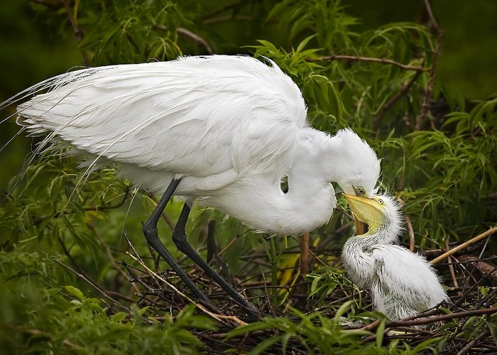 Egret Greeting Card featuring the photograph Great Egret And Chick by Susan Candelario