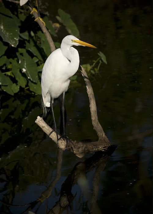 Great Egret Greeting Card featuring the photograph Great Egret by Chad Davis