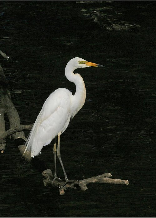 Egret Greeting Card featuring the photograph Great Egret by Tony Brown