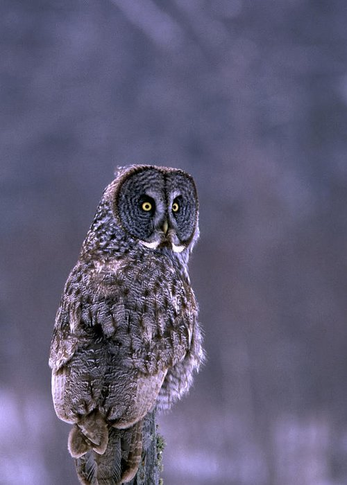 Bird Greeting Card featuring the photograph Great Grey Owl by Bill Morgenstern