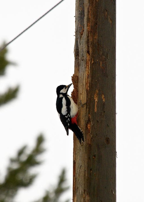 Lehtokukka Greeting Card featuring the photograph Great Spotted Woodpecker by Jouko Lehto