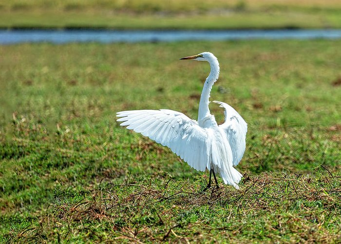 Great White Egret Greeting Card featuring the photograph Great White Egret Ahoy by Kay Brewer