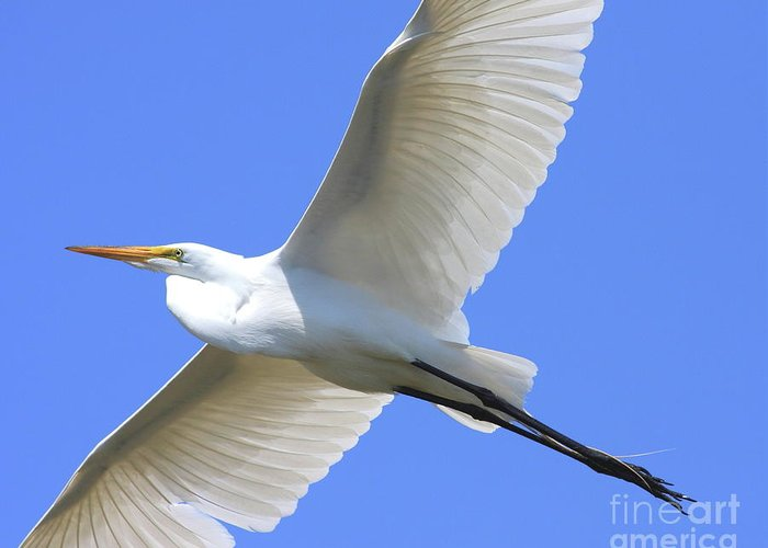Bird Migration Greeting Card featuring the photograph Great White Egret In Flight . 40d6850 by Wingsdomain Art and Photography