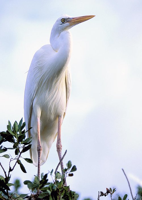 Heron Greeting Card featuring the photograph Great White Heron by Alan Lenk