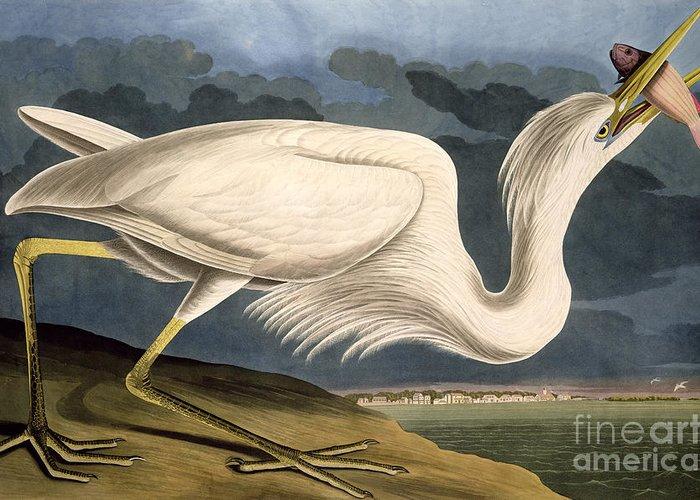 Great White Heron Greeting Card featuring the drawing Great White Heron by John James Audubon