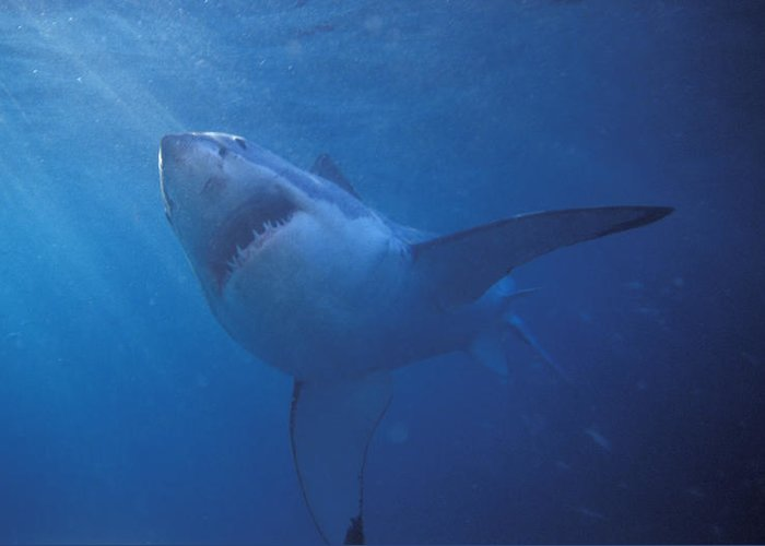Sea Life Greeting Card featuring the photograph Great White Shark With Light Rays by James Forte