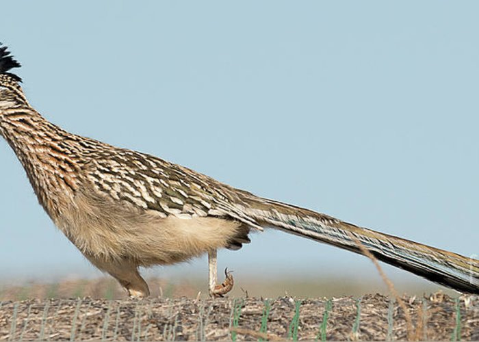 Bird Greeting Card featuring the photograph Greater Roadrunner On The Hunt by Dennis Hammer