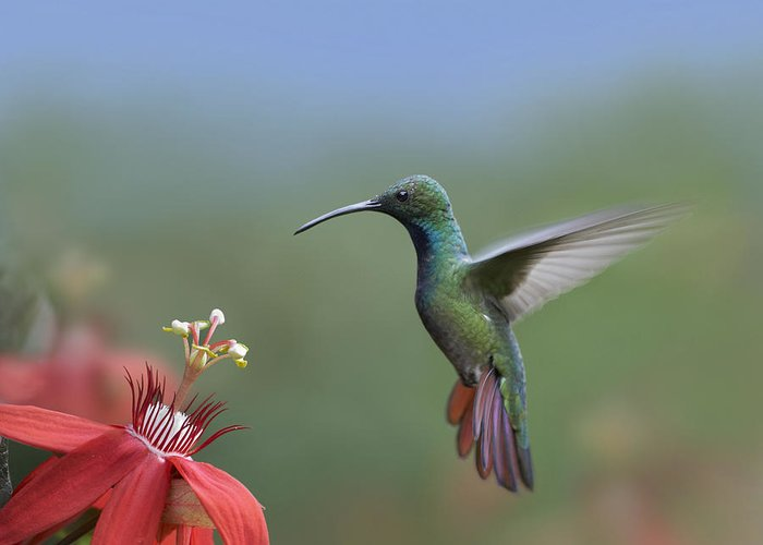 00176926 Greeting Card featuring the photograph Green Breasted Mango Hummingbird Male by Tim Fitzharris
