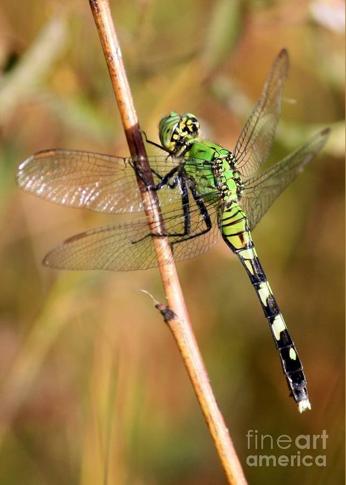 Dragonfly Greeting Card featuring the photograph Green Dragonfly Closeup by Carol Groenen