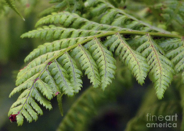 Fern Greeting Card featuring the photograph Green Fern by Kim Tran