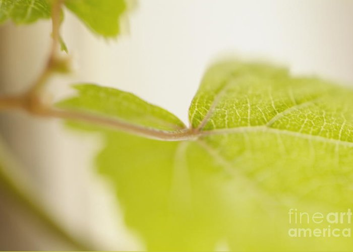 Grapevine Greeting Card featuring the photograph Green Grapevine Leaf by Sami Sarkis