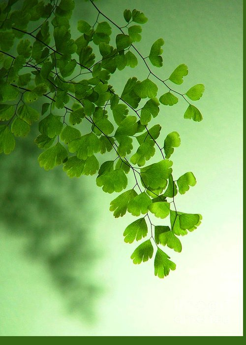 Green Maidenhair Fern Greeting Card featuring the photograph Green Is The Colour by Serena Bowles