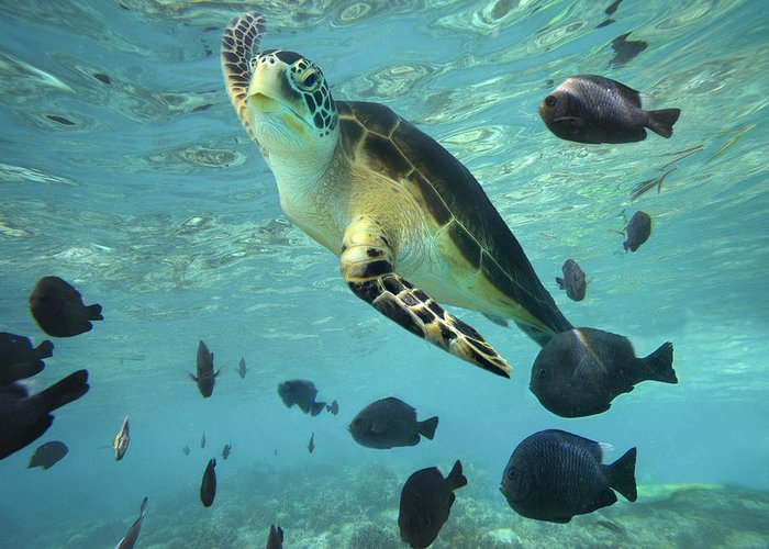 00451420 Greeting Card featuring the photograph Green Sea Turtle Balicasag Island by Tim Fitzharris