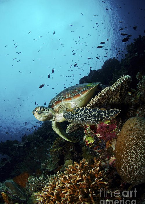 Turtle Greeting Card featuring the photograph Green Sea Turtle Resting On A Plate by Mathieu Meur