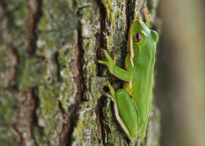 Green Greeting Card featuring the photograph Green Tree Frog Thinking by Douglas Barnett