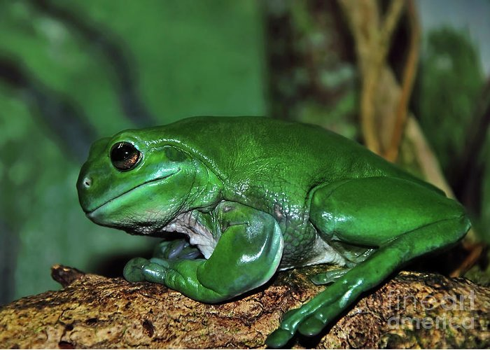Photography Greeting Card featuring the photograph Green Tree Frog With A Smile by Kaye Menner