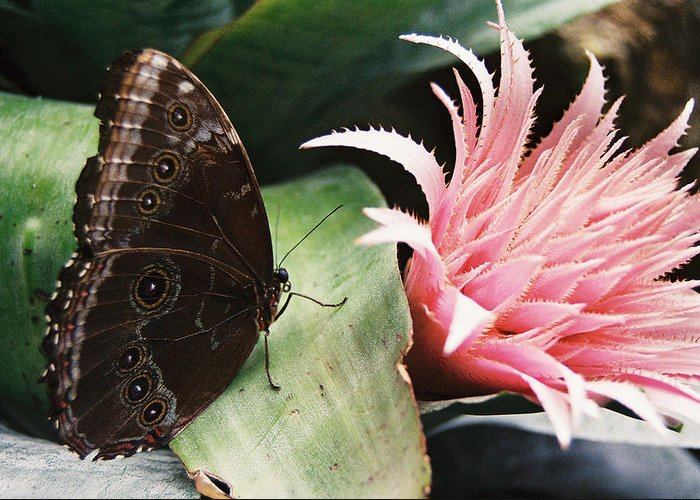 Butterfly Greeting Card featuring the photograph Grey Pansy Pink Bromeliad by Ric Bascobert