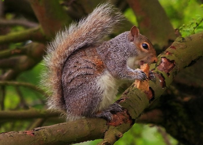 Grey Squirrel Eastern Tree Rodent Tail Bushy North America Great Britain Feeding Animal Nature Wildlife White Fur Greeting Card featuring the photograph Grey Squirrel by Jeff Townsend