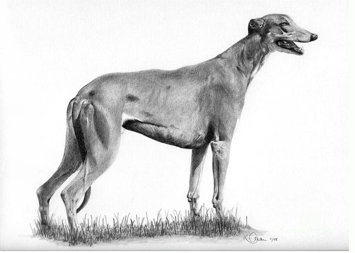 Dog Greeting Card featuring the drawing Greyhound by Karen Townsend