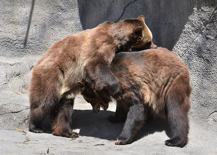 Grizzly Bear Greeting Card featuring the photograph Grizzlies' Playtime 4 by Flo McKinley