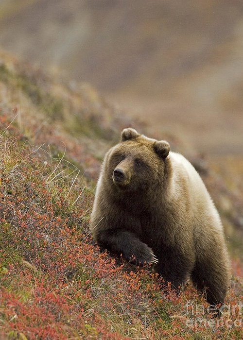 Bear Greeting Card featuring the photograph Grizzly Bear In Berries by Tim Grams