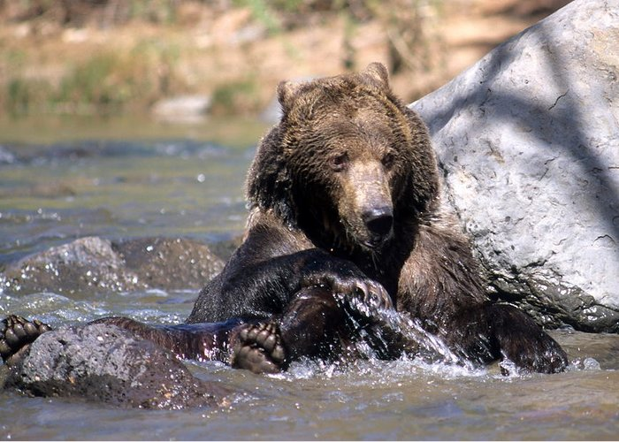 Wildlife Greeting Card featuring the photograph Grizzly Bear Plays In Water by Larry Allan