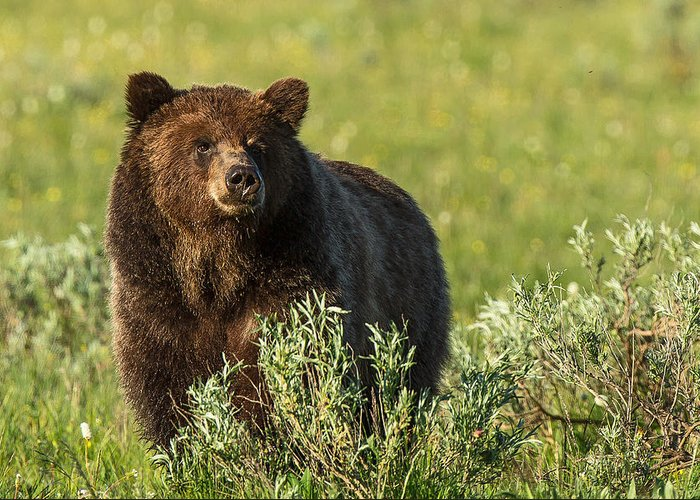 Bear Greeting Card featuring the photograph Grizzly by Terry Hawthorne