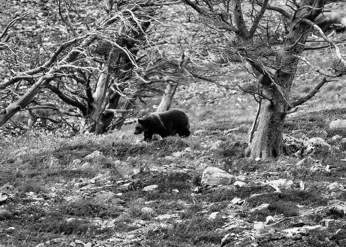 Glacier National Park Greeting Card featuring the photograph Grizzly Walking Through Dead Trees - Black And White by Mark Kiver