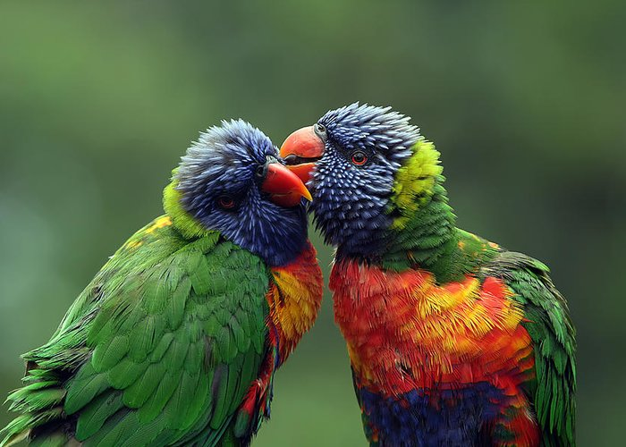 Lorikeets Greeting Card featuring the photograph Grooming In The Rain by Lesley Smitheringale