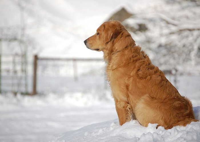 Golden Retriever Greeting Card featuring the photograph Guard by Laura Mountainspring