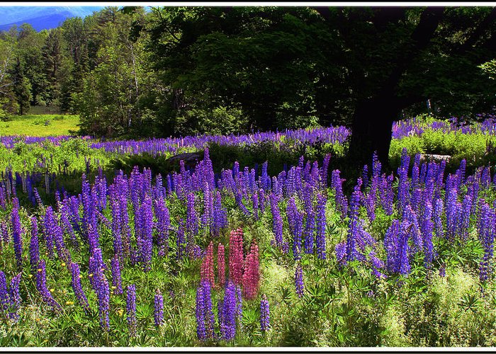 Lupine Greeting Card featuring the photograph Guardian Of The Lupine by Wayne King