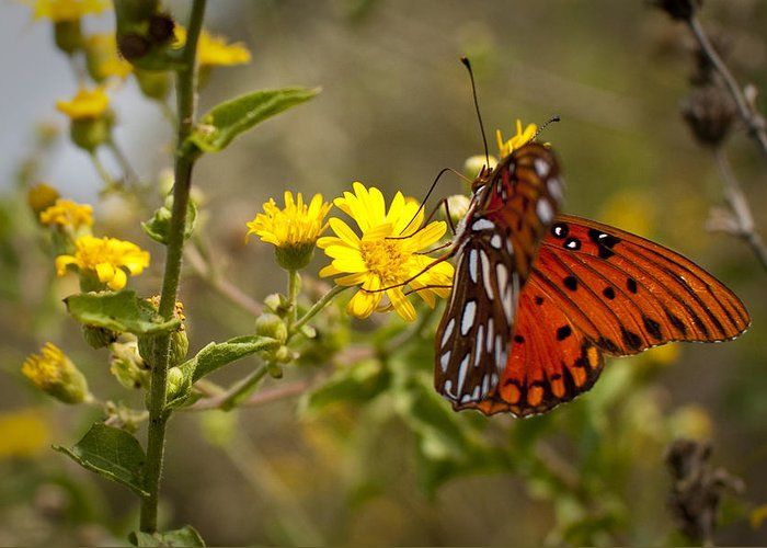 Gulf Fritillary Greeting Card featuring the photograph Gulf Fritillary Agraulis Vanillae Red Butterfly by Dustin K Ryan