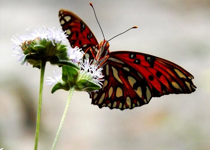 Butterfly Greeting Card featuring the photograph Gulf Fritillary Butterfly by Julie Pappas