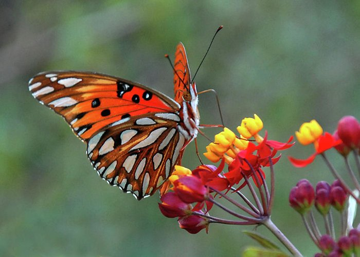 Butterfly Greeting Card featuring the photograph Gulf Fritillary on Lantana by Jerry Griffin