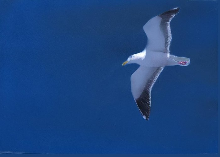 Gull Greeting Card featuring the painting Gull by Charles Parks