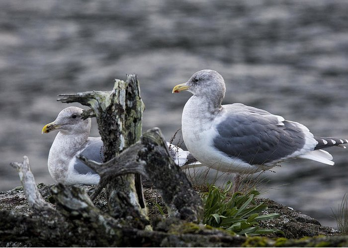 Gulls Greeting Card featuring the photograph Gulls by Randy Hall