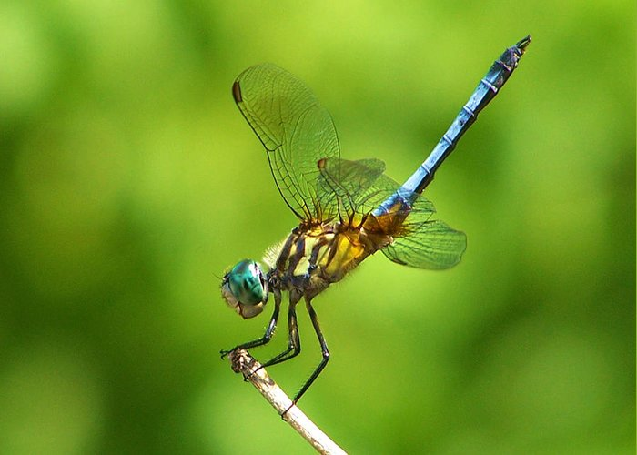 Handstand Greeting Card featuring the photograph Handstand Dragonfly by Karen Scovill