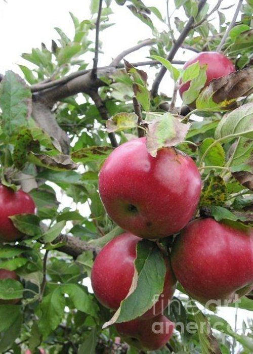 Apples On The Tree Greeting Card featuring the photograph Hanging Out by Deborah Selib-Haig DMacq