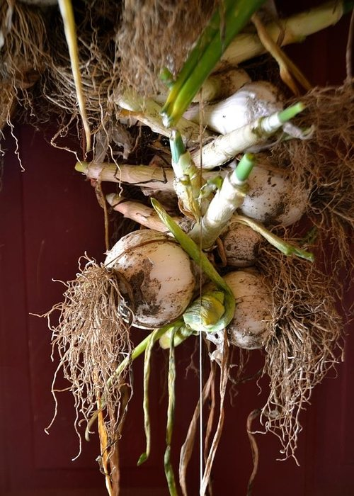 Onion Greeting Card featuring the photograph Hanging Roots by Anna Lucas