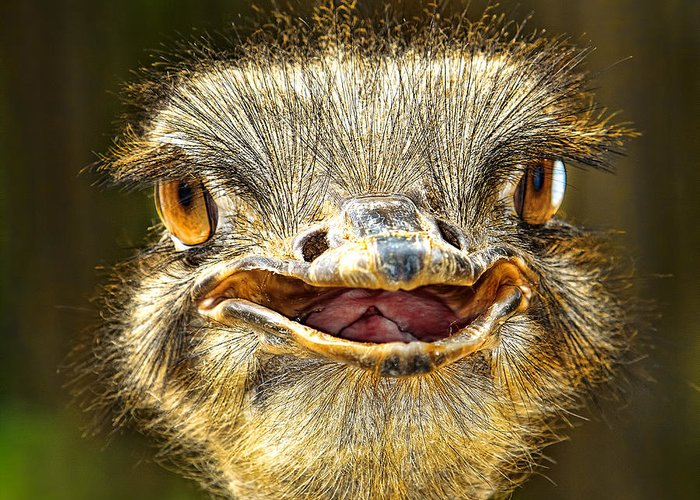 Ostrich Greeting Card featuring the photograph happy Ostrich by Joerg Lingnau