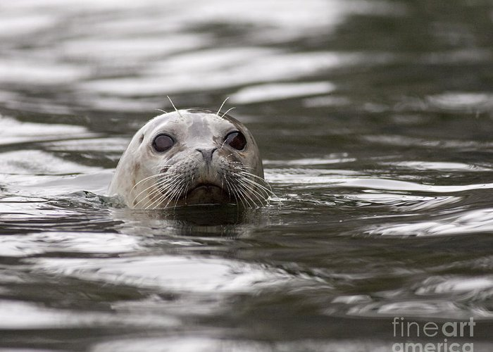 Harbor Greeting Card featuring the photograph Harbor Seal by Tim Grams