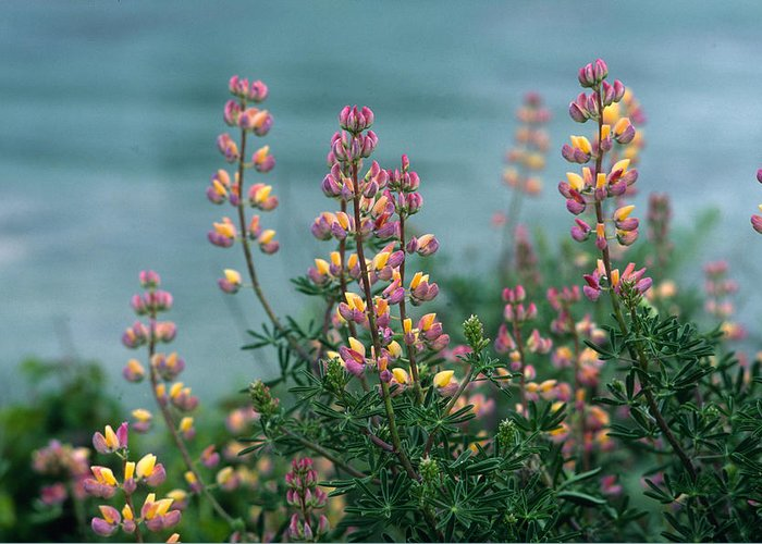 Lupines Greeting Card featuring the photograph Harlequins In Harmony by Kathy Yates