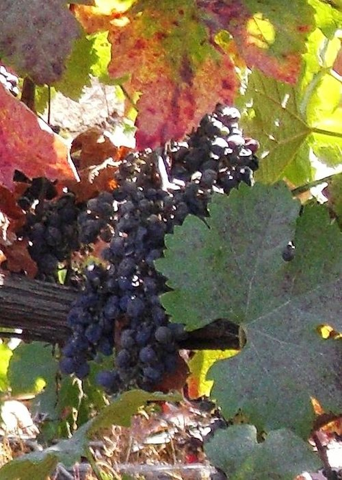 Grapes Greeting Card featuring the photograph Harvest Time by Nancy Atherton Cheadle