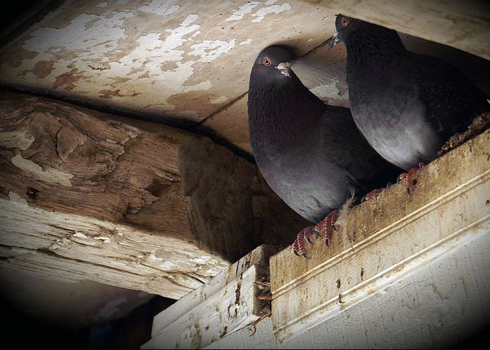 Birds Roosting In Beams Of A Barn Greeting Card featuring the digital art Haven by Priscilla Rink