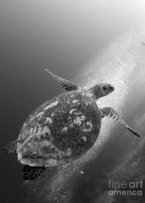 Cheloniidae Greeting Card featuring the photograph Hawksbill Turtle Ascending by Steve Jones