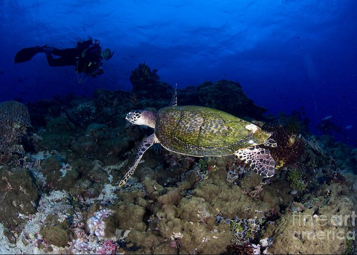 Cheloniidae Greeting Card featuring the photograph Hawksbill Turtle Swimming With Diver by Steve Jones