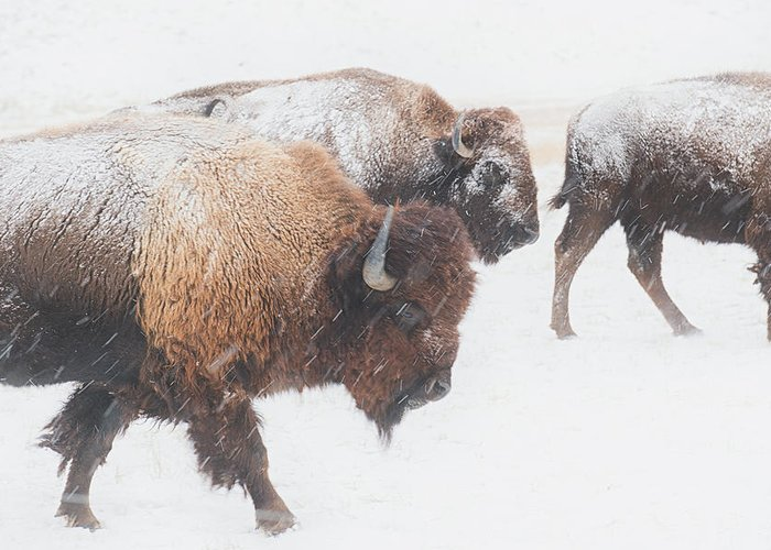 Buffalo Greeting Card featuring the photograph Head Down by Derald Gross
